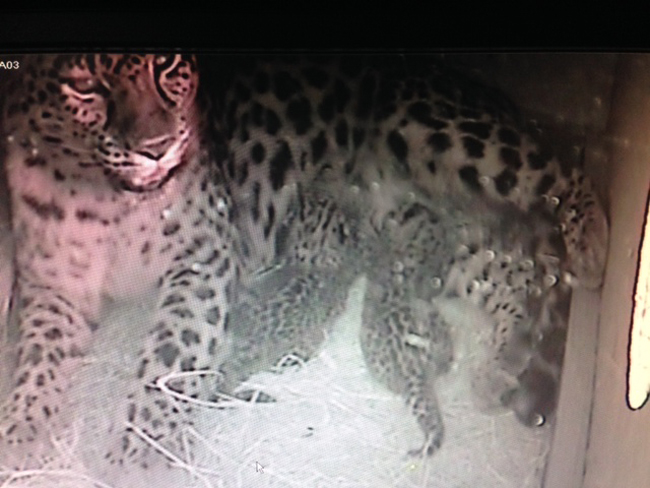 The Jacksonville Zoo's two newest Amur leopard cubs and their mother in a video capture from Nov. 16. (Jacksonville Zoo)