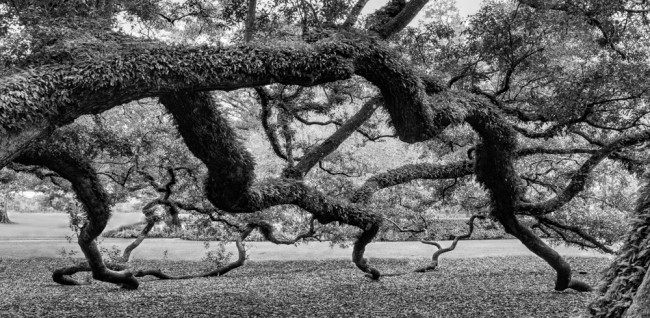 'Oak's Embrace,' by Will Abair. Click on the image for larger view.