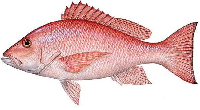 Fury and fallacies over red snapper fishing ban for Red snapper fishing
