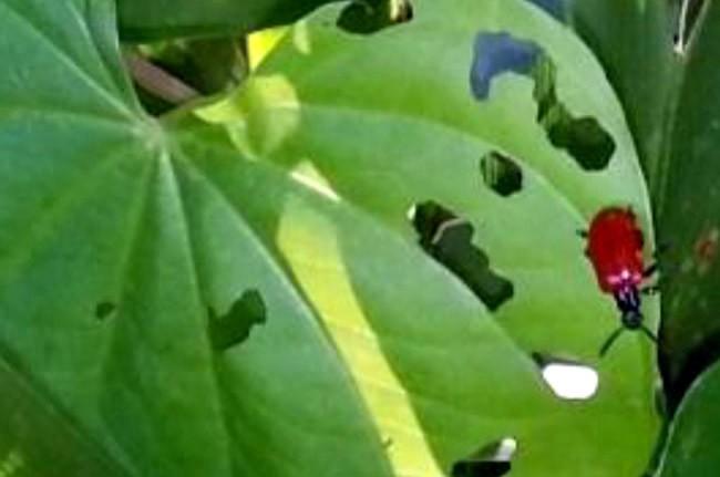 air potato leaf beatle
