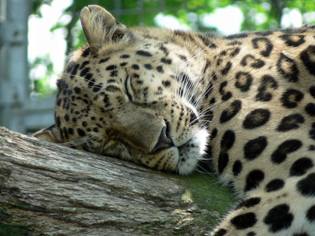 An adult Amur leopard in a zoo in England. (Nick@)