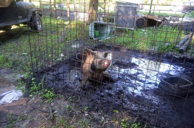 One of the pigs found in filthy conditions at the Flagler Estates home. (SJSO)