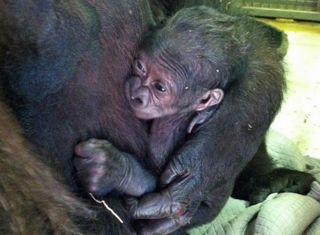 The first baby gorilla in the Jacksonville Zoo's history was born to mother Bulera and father Lash. Click on the image for larger view. (Lynde Nunn)