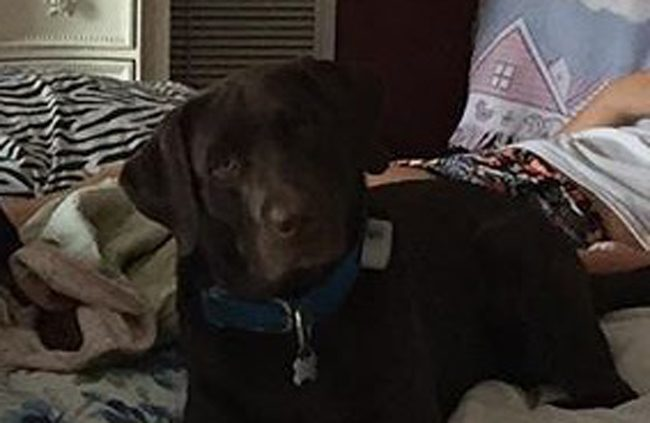 Bacchus, the dog at the center of an ongoing case seeking to determine whether the Labrador is a dangerous dog. The case is more than two years old. Bacchus is twice that age.