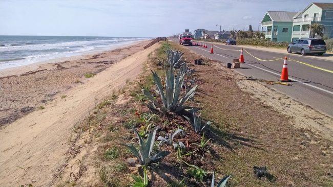 dunes replanting