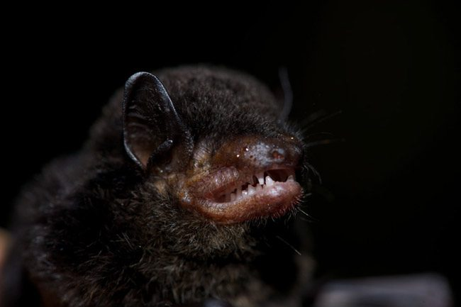 Cuddly fangs: Florida is home to 13 resident bat species. (Roger Le Guen)