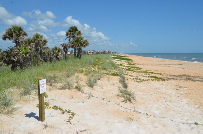 Florida TaxWatch called for a veto of two dune-restoration projects in St. Johns County. Flagler County completed its dunes-restoration project this year, and made it through the past two years' appropriations without drawing a 'turkey' rating from TaxWatch. Above, the restored dunes as they appeared last month at Mala Compra Road in the Hammock. (c FlaglerLive)