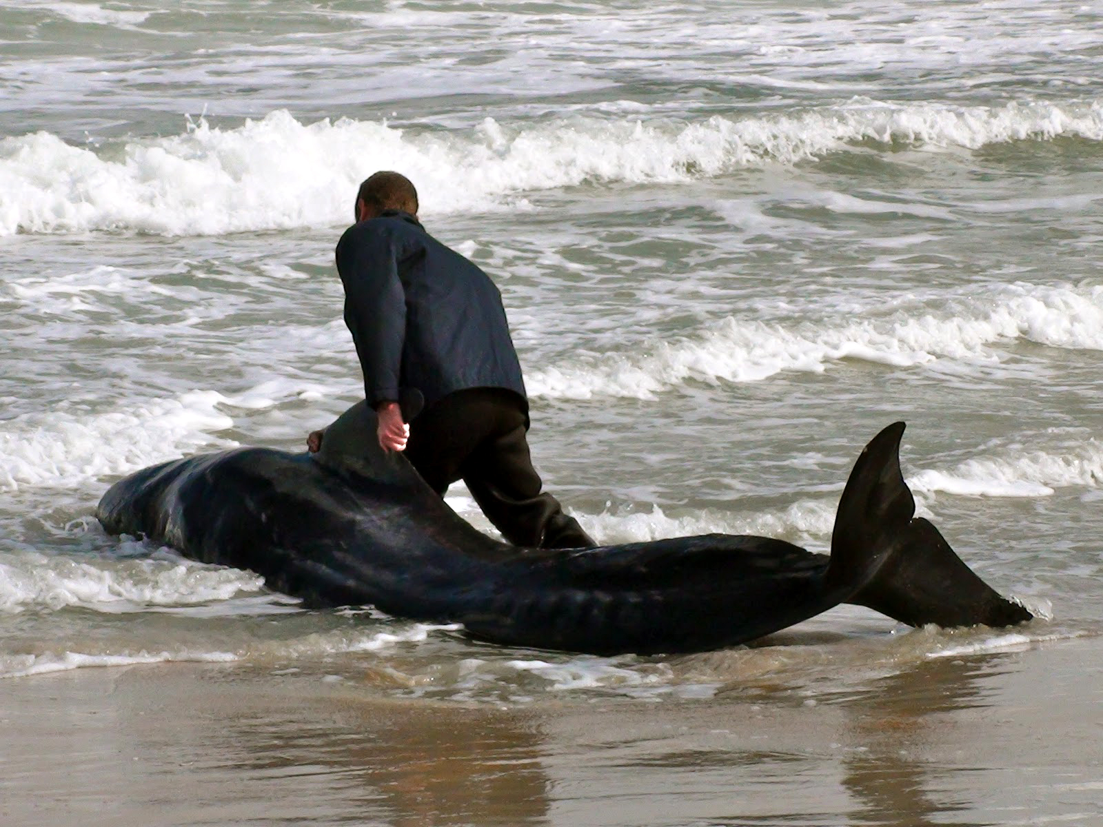 beached pilot whales marineland christine sullivan