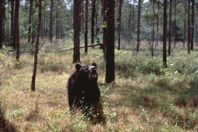 A bear in a Florida forest. (FWC)