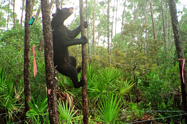 florida fish wildlife commission bear hunts
