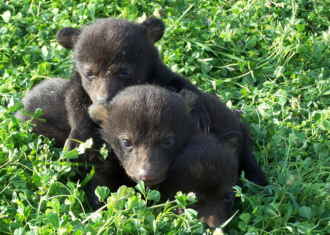black bear hunting florida rules