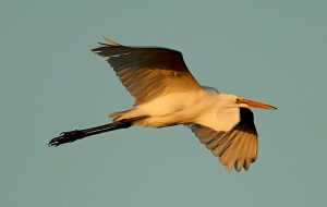 Coming in for a landing at Palm Coast's annual Birds of a Feather Fest, which takes off this weekend. (Henry)
