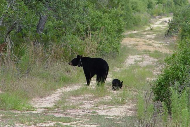 black bear hunt florida
