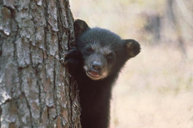 florida black bears hunting fwc