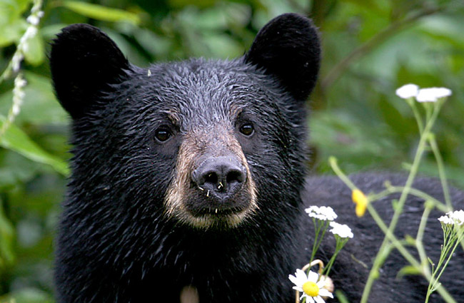 Are you talking to me? That's not the actual bear spotted in palm Coast's B-Section this afternoon, but at the risk of sounding speciesistic, they do all look alike.