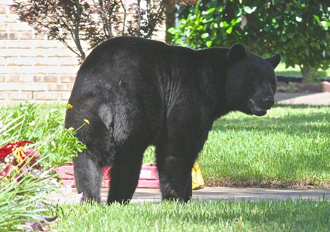 black bears terrorists NRA florida hunting