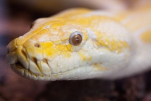 A Burmese python's impersonation of Jack Nicholson in 'The Shining.' (San Diego Shooter)