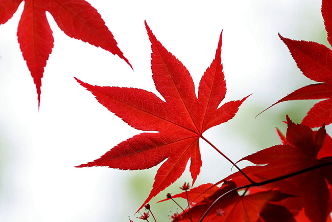 When maple leaves turn red up north, Canadians descend. (TexasEagle)