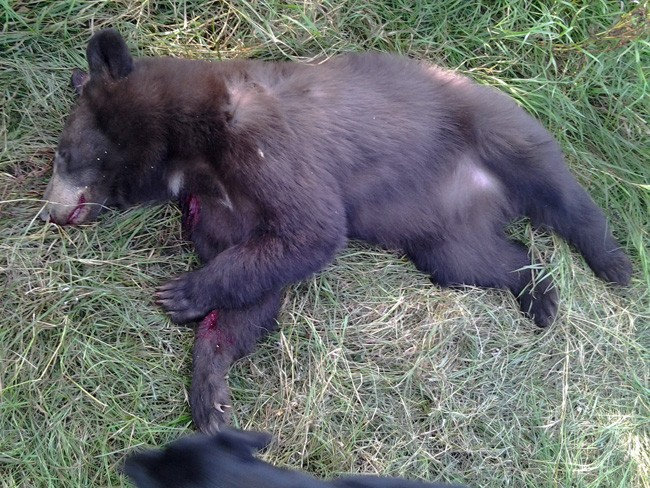 A 2-year-old black bear killed in a hunt in another state by a hunter who identifies herself as 'Gretchen' on Flickr, and who wrote of the kill: 'We butchered it up and it is the best wild meat I've ever had.'