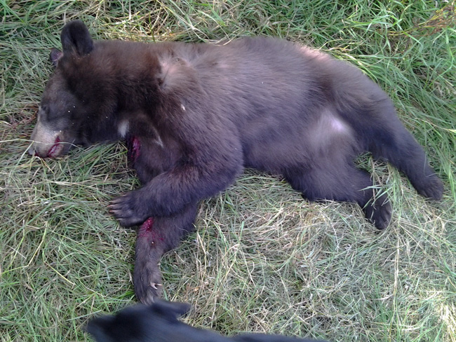 black bear hunt florida