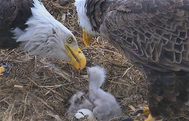 Time for a visit with the Decorah, Ia., eagles, of the Raptor Resource Project, from whose Facebook page this April 21 still was taken. See below for live shots.