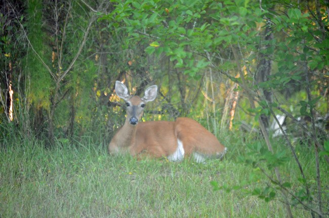 Deer are making themselves increasingly comfortable in Palm Coast. A deer in the P-Section last week, at dawn. (© FlaglerLive)
