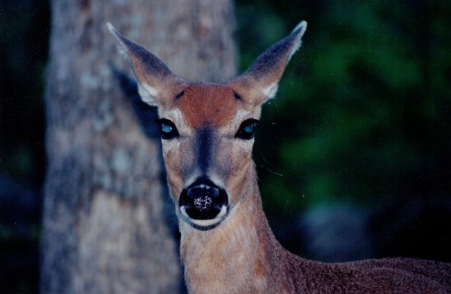 Florida wants to impose a ban on illegal immigrant deer. (© FlaglerLive)