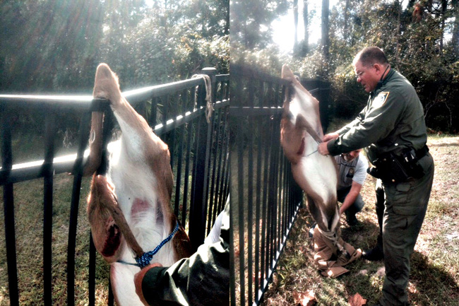 Flagler County Sheriff's deputy Steve Williams and Sgt. Mike Lutz, freeing the deer. (FCSO)