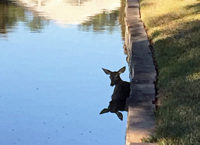 The doe before the rescue. (Palm Coast)