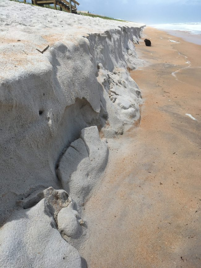 Hurricane Dorian's surf has already carved out a large chunk of the newly re-built dunes north of Flagler Beach, which cover a sea wall the Department of Transportation finished building only weeks ago. (© FlaglerLive)