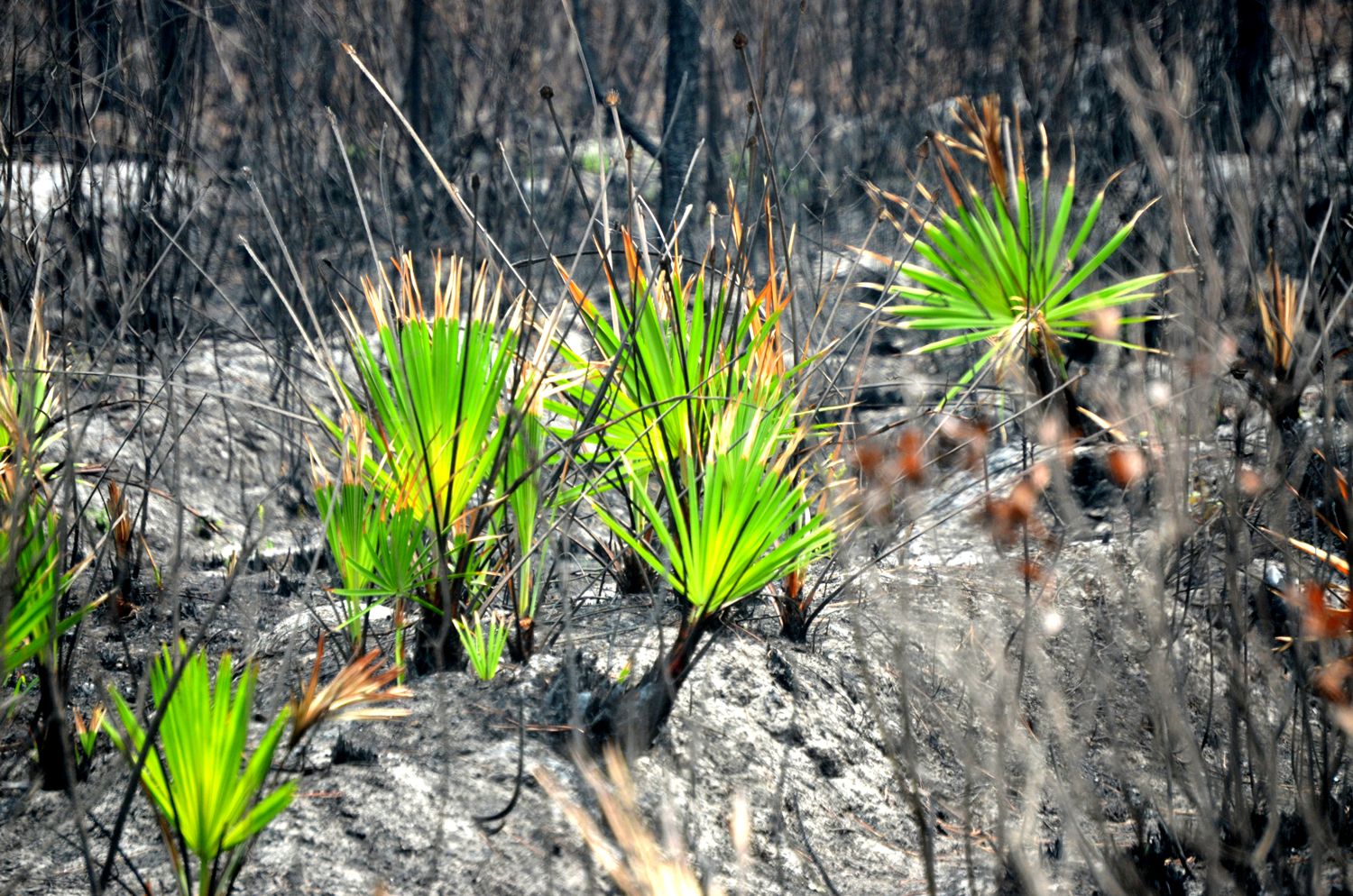 Even in the heart of the Espanola fire's charred remains, green life is burgeoning again. (© FlaglerLive)