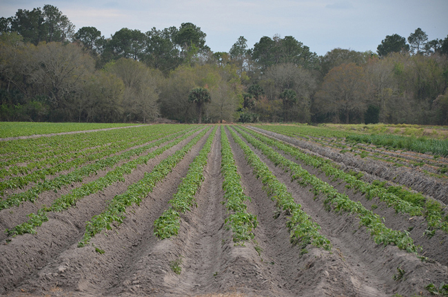 flagler county potatoes farms