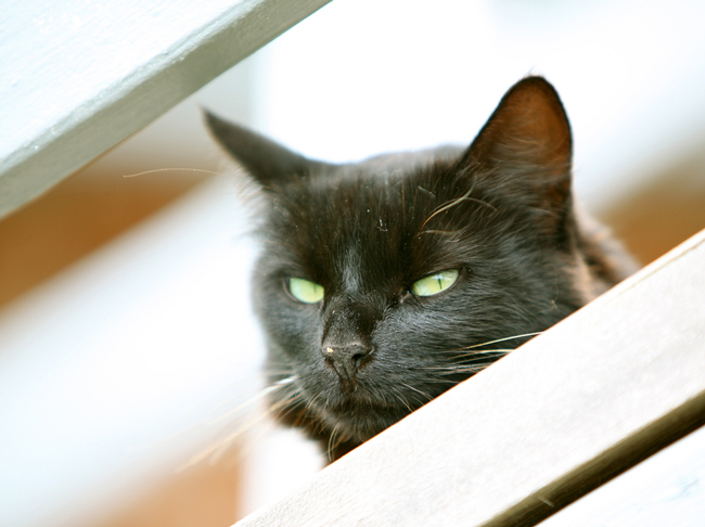 The trap, neuter and release approach aims to end cat massacres. (Steve Jurvetson)