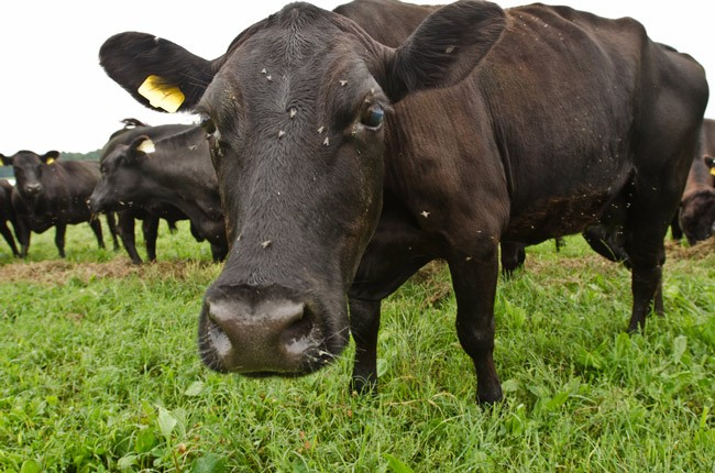 florida agriculture cattle