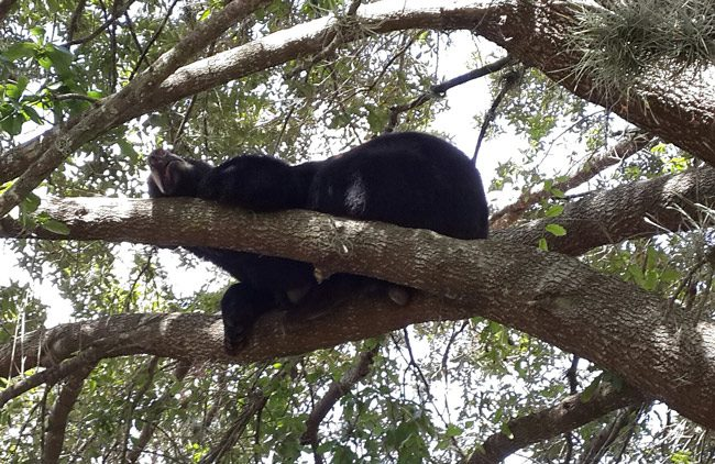 black bear florida