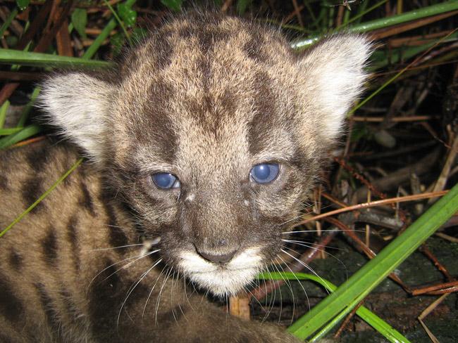 baby florida panther