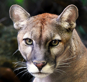 What are some facts about the Florida panther?