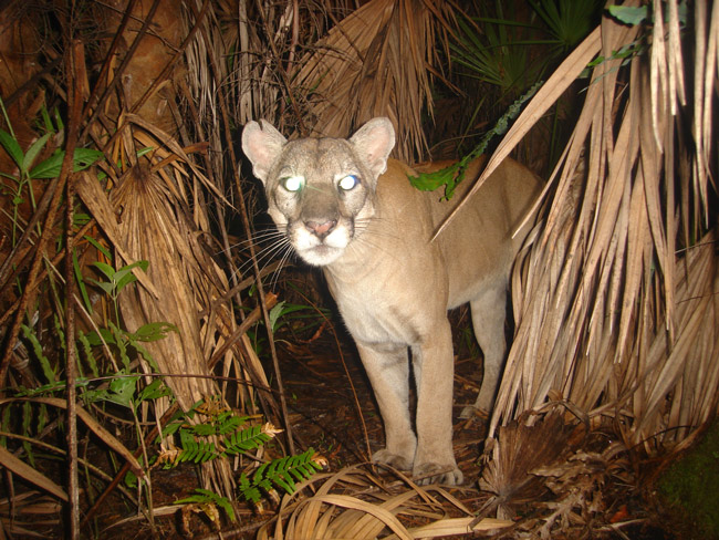 florida panther in the wild