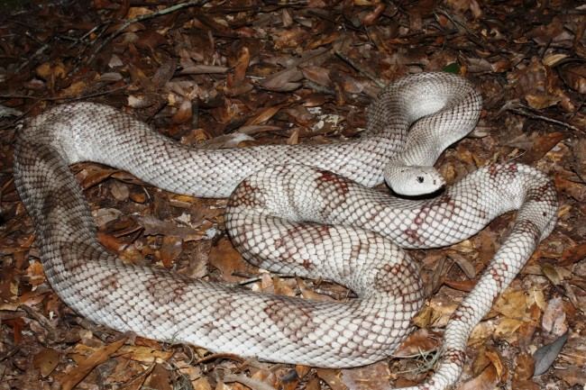 The Florida pine snake. Click on the image for larger view. (FWC)