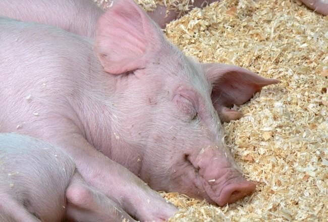 florida pork