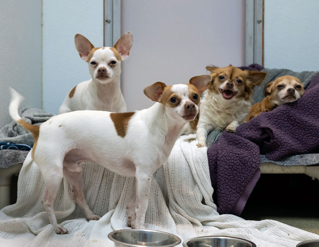 The four dogs recovered from the Allen home on Water Oak Road after the homeopwners, parents of five children, were booked at the jail on child neglect charges. (Flagler Humane Society)
