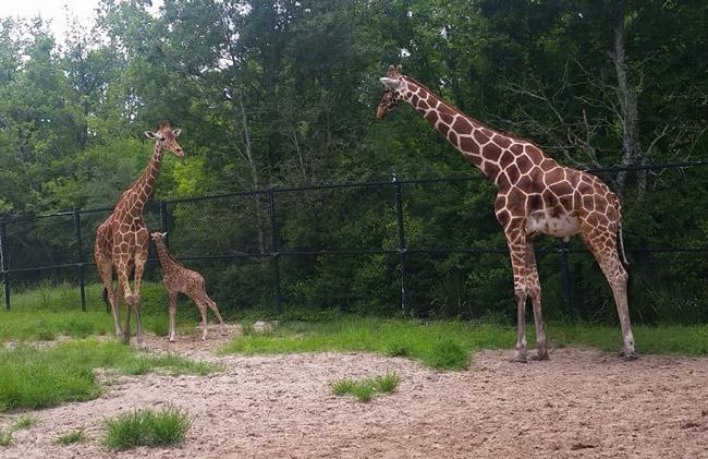 jacksonville zoo giraffes