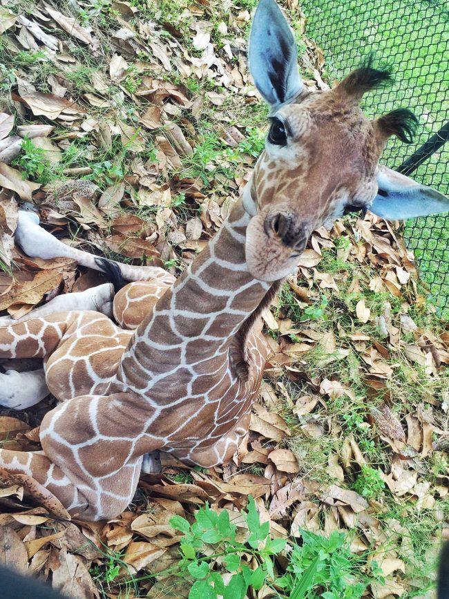 The newborn giraffe