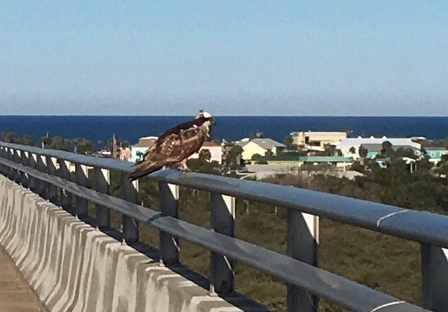 Looking for prey, and photographed by Flagler Beach City Commission Chairman Rick Belhumeur last week, who noted: 'He can be found there daily for hours on end.'