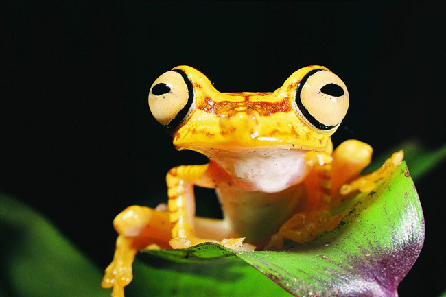Imbabura treefrog extinctions