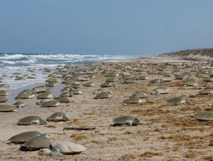 A massive Kemp's ridley nesting event, called arribadas, in Tamaulipas, Mexico (Toni Torres, Gladys Porter Zoo)