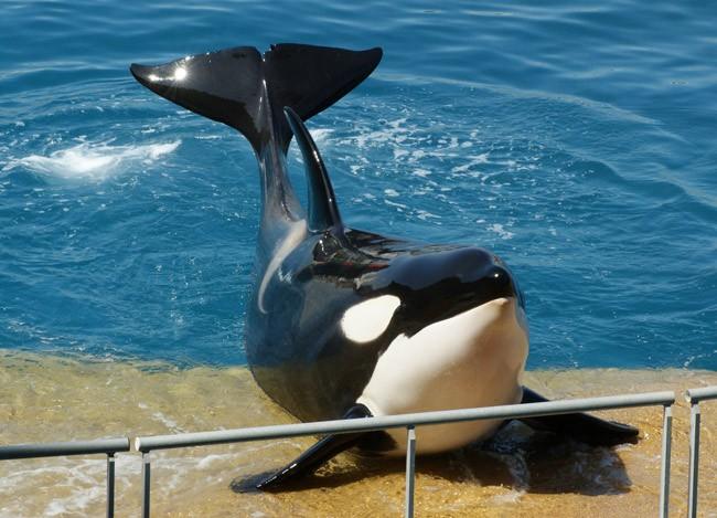 shamu killer whales
