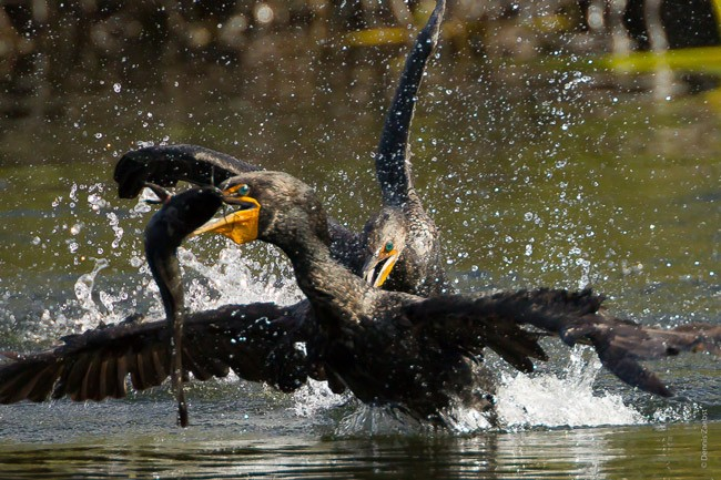 Environmentalists hopes are fading that the Florida Legislature will interpret Amendment 1, the land-buying and water-conservation program, in a way that would revive the Florida Forever acquisitions, including large land-buying in the Everglades, where these birds were seen battling over prey a year ago. (Dennis Zaebst)
