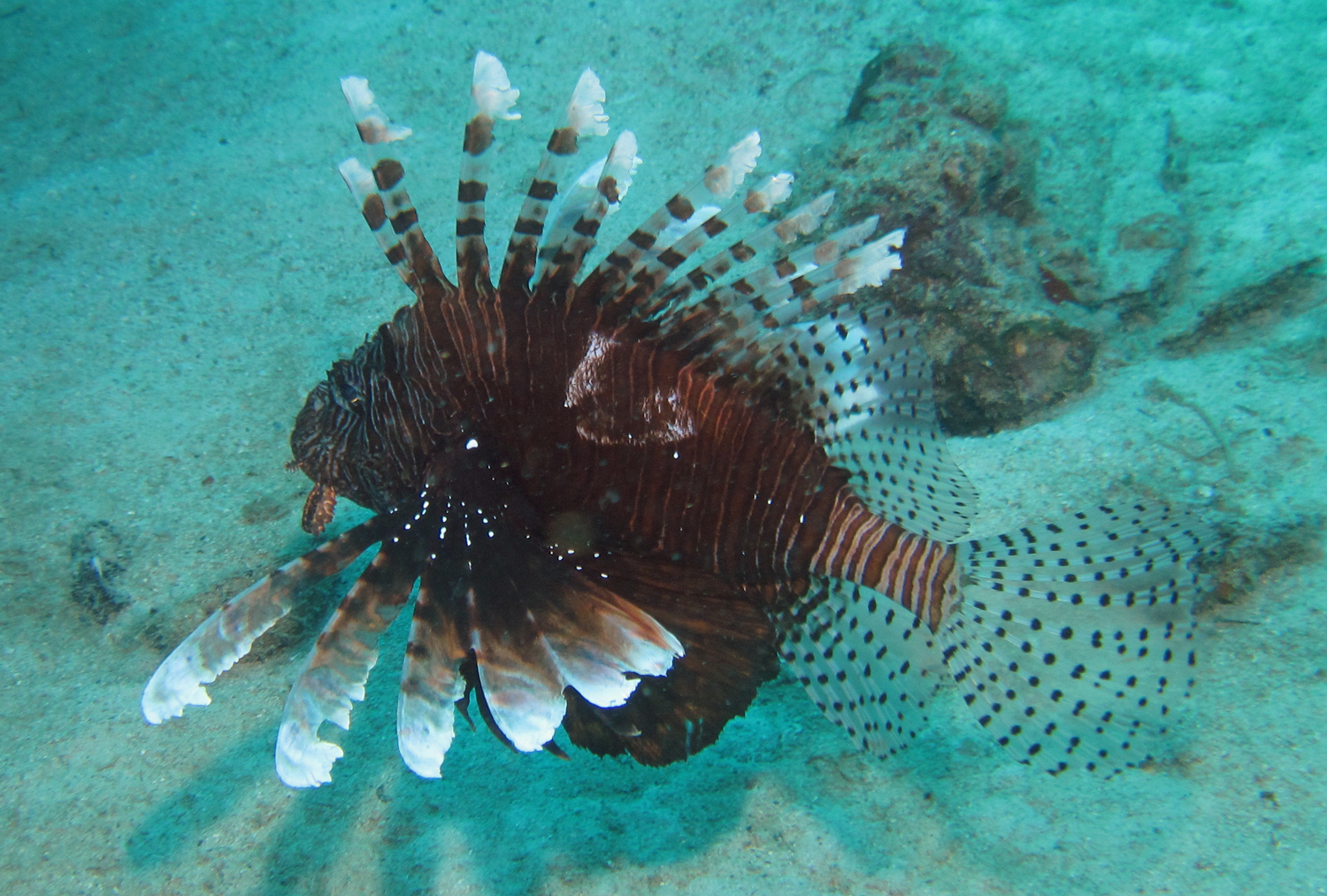 Fish and wildlife commission 39 s lionfish summit will for Fish and wildlife