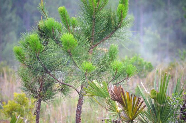 Fledgling longleaf pines. (© FlaglerLive)